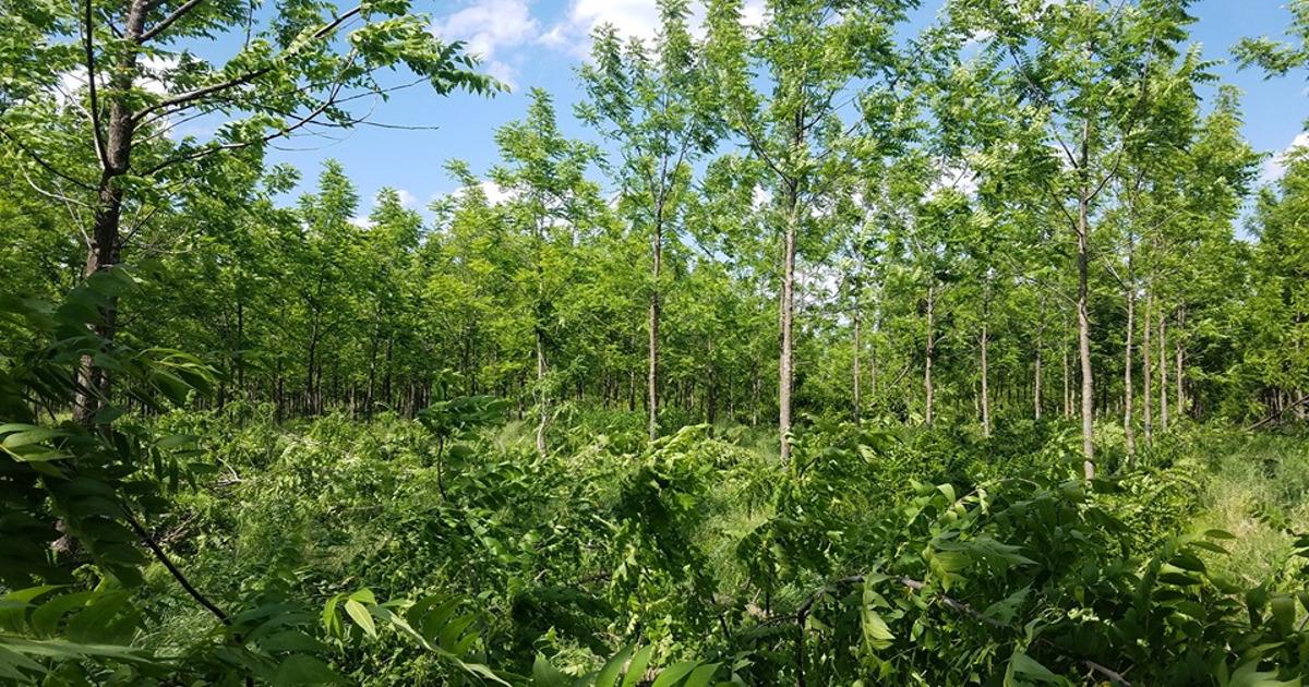 Black Walnut Plantation